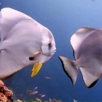 bat-fish-kata-beach-diving