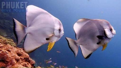 Bat fish - Diving at Kata beach with Phuket dive Tours