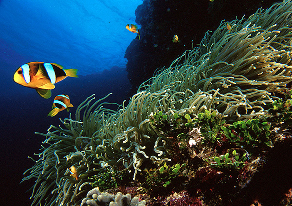 Clarks Anemone Fish - Phuket Dive Tours