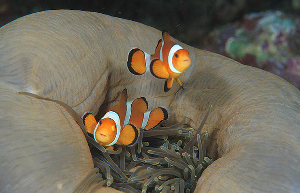 Clown Fish Duo on Closed Anemone