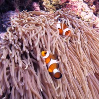 Clown Fish commonly known as NEMO – Phuket Dive Tours
