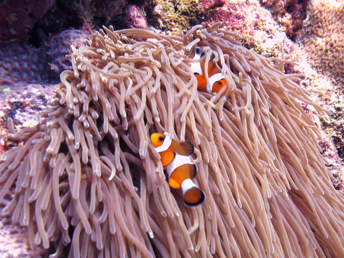Clown Fish commonly known as NEMO - Phuket Dive Tours