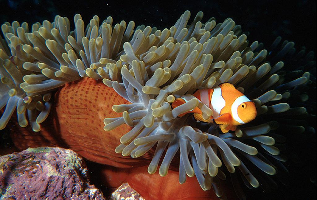 Clown fish Anemone reef - Phuket Dive Tours