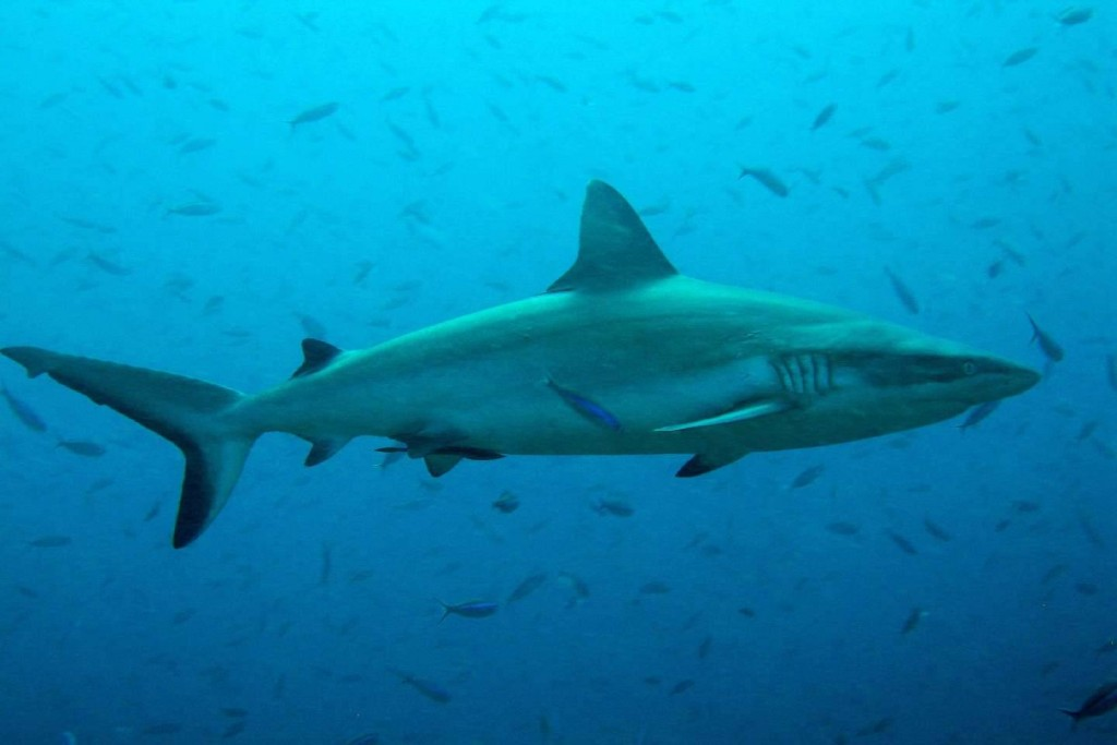 Dive with Sharks on Palong Wall - Phi Phi islands