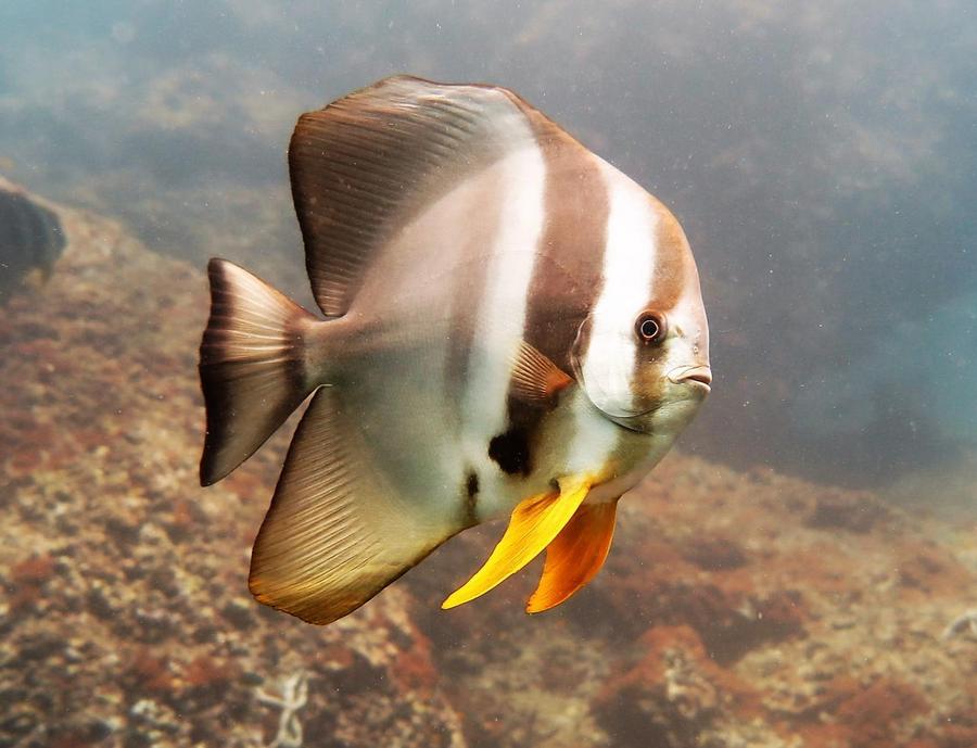 Racha yai scuba diving Bat Fish