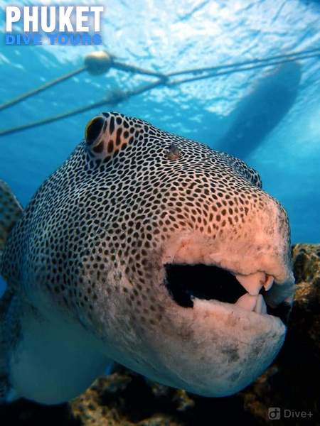 Giant puffer fish at Racha Yai Island