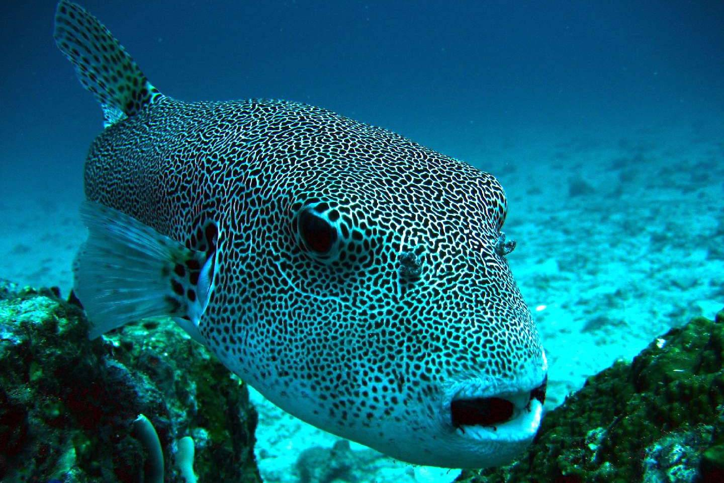 Bida nok dive site information video phuket dive tours for Giant puffer fish