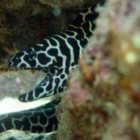 Honeycomb Moray Eel scuba diving Phuket Kata Beach