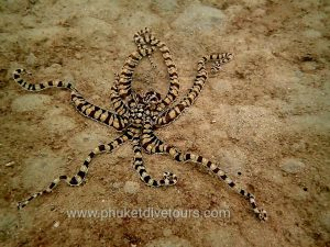 Mimic Octopus at Kata Beach Scuba Diving