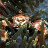 Porcelain Crab feeding on sea Anemone