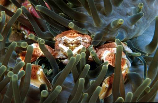 Sea anemone - Porcelain crab