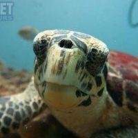 sea-turtle-at-kata-beach