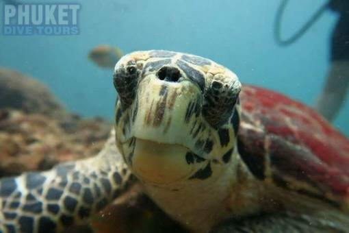 Baby sea Turtle at Kata beach with Phuket dive Tours