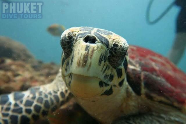 Baby sea Turtle at Kata beach with Phuket dive Tours