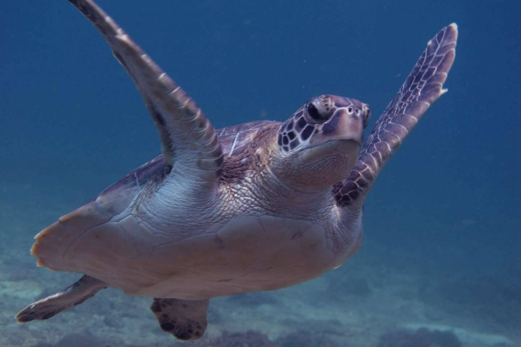 Sea Turtle in Racha Noi - Phuket Dive Tours