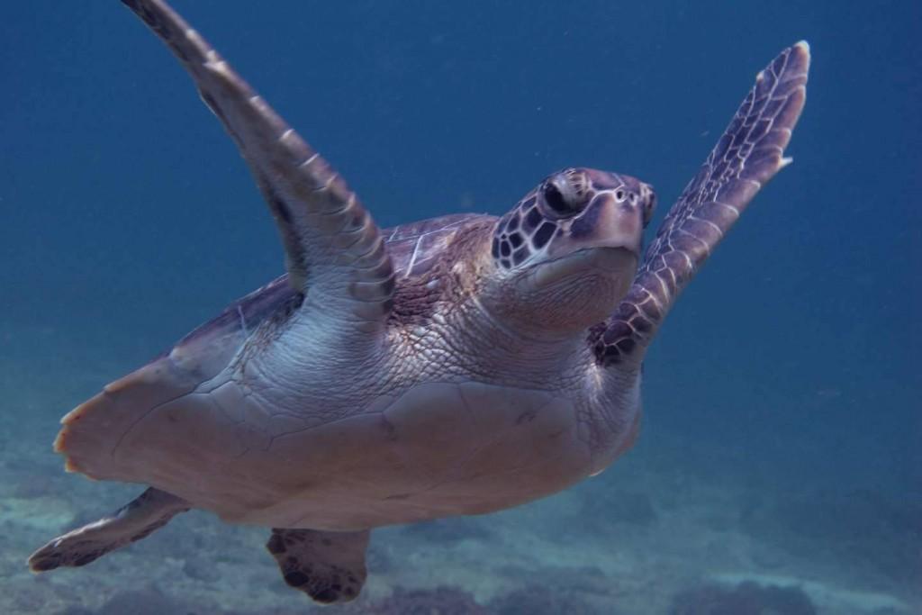 Sea Turtle in Racha Noi - Phuket Dive Tours