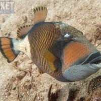 trigger-fish-kata-beach-diving