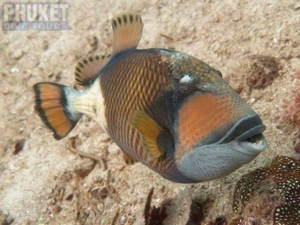 Trigger Fish - Diving at Kata beach with Phuket dive Tours