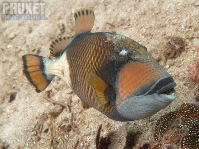 Trigger Fish - Diving at Kata beach with Phuket dive Tours