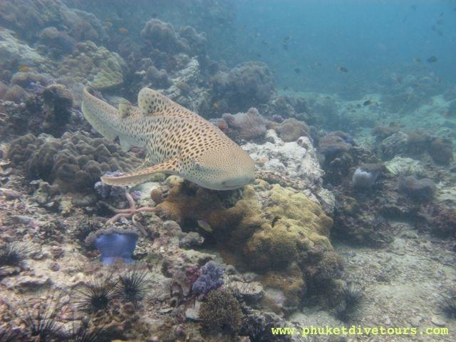 diving at shark point phuket leopard shark
